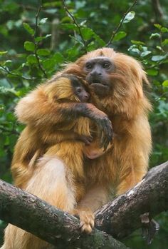 One of the world's most endangered primates Golden Lion Tamarins Golden Lion Tamarin, Golden Lions, Primates, Mother And Baby, Mom And Baby, Small Monkey, Baby Animals, Cute Animals, Wild Animals Pictures