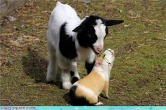 Guinea pigs and goats make sweet pals.