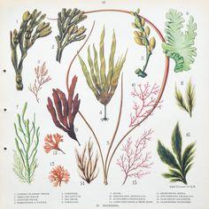 Vintage 1930s British School Poster: Seaweeds