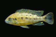 """Pseudotropheus sp. """"williamsi north"""" hane, Makonde"""