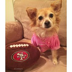 Sports fans come in all shapes and sizes. Outfit yours in NFL gear at PetSmart. (Photo credit: @minniethefoxymutt)