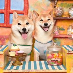 Shiba Inu Sweets for all! Love Shiba Inu's? Learn more about this breed at www.myfirstshiba.com