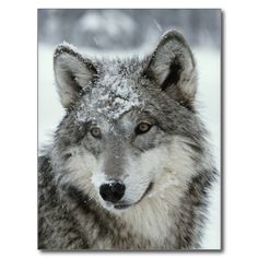 Gray wolf with a dust of snow post cards #wolves #National #geographic at http://www.zazzle.com/gray_wolf_with_a_dust_of_snow_post_cards-239234221130333437?rf=238505586582342524