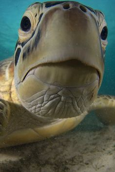 © Jason Isley Green Turtle❤ turtles are awesome Turtle Time, Tortoise Turtle, Water Animals, Green Turtle, Wale, Underwater Life, Ocean Creatures, Tier Fotos, Reptiles And Amphibians