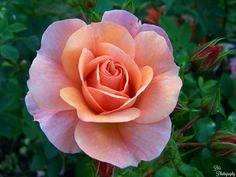 https://flic.kr/p/JoYE2Y   Single Rose