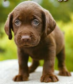 Someday I will have a chocolate lab