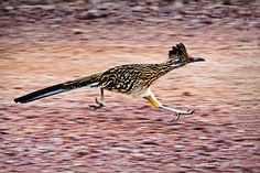 State bird of New Mexico. We had them in Arkansas they eat other birds. I Love To Run, Beautiful Birds, Pretty Birds, State Birds, Big Bird, Road Runner, Little Birds, Fantastic Art, Mexico Travel