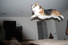 It's a Bird! It's a Plane! It's a........FLYING CORGI! I could so see Thor doing this. <3