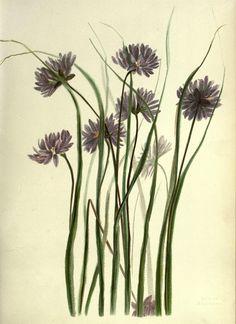 Pacific plant botanical illustrations Cluster Lily (Dichelostemma sp., Asparagaceae)