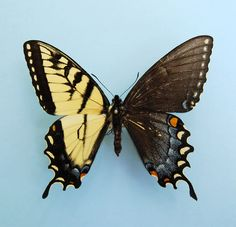 Tiger Swallowtail by James K. Adams, Professor of Biology, Dalton State College via thisiscolossal:  Bilateral gynandromorphism is a condition where an animal or insect contains both male and female characteristics, evenly split, right down the middle. #Butterfly #Gynandromorphism