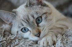 Cat, kitten lying, head, blue eyes, domestic animals, cute, cat eyes