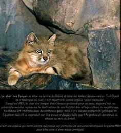pampas cat (colocolo)