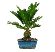 Do you want to feel like you are on the coast? Then our Sago Palm Bonsai Tree for sale is for you! It adds an exotic feel to your home décor or office and is a trending gift idea. It is extremely easy to take care of and is often used as a house plant in a garden. See more bonsai trees for sale at www.nurserytreewholesalers.com!