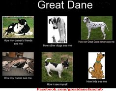 so true, I wonder do other great dane owners get tired of saddle / ride comments.