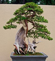 The final bonsai in the collection...