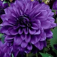 Dahlia Blue Bell - Spectacular blue-purple 4 to 10 inch blooms that really stand out.