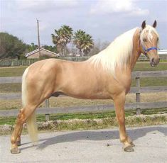 Tennessee Walking Horses - CLOUD 9 WALKERS (Tennessee Walking Horses Sold)