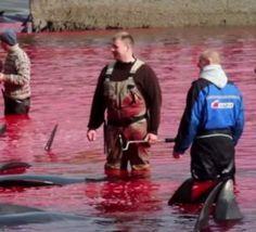 les Féroé: cinq opposants à la chasse à la baleine condamnés