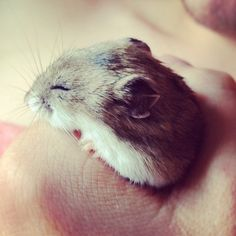 hamster | Tumblr