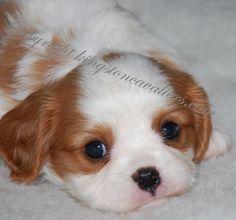 Cute Cavalier