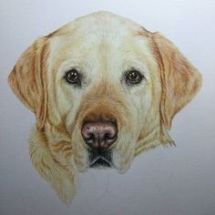 Nearly there with this beautiful girl. #lab #labrador #labretriever #retriever #dogs #art #fabercastell #artist #pets #petportrait #pencil