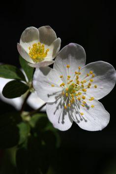 Spring Wildflowers Anemones