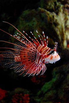 The Lionfish dressed in dots and stripes - this clashing array of patterning delivers a potent venom via its needle-like dorsal fins - definitely not a fish one should tangle with! - Native to the reefs and rocky crevices of the Indo-Pacific.