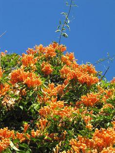 Ah, Madeiran talvi, helmikuun kukkija