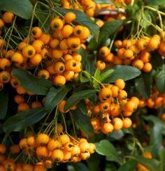 Pyracantha 'Golden Charmer' Plants Online, Flower Seeds, Winter Garden, Perennials, Garden Tools, Pumpkin, Vegetables, Fruit, Flowers