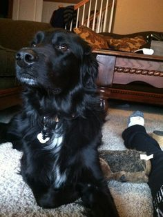 Handsome! Golden retriever/black lab mix #moose