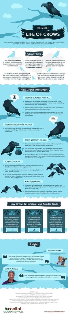 The Secret Life of Crows: an Infographic Crow Facts, Weird Facts, Fun Facts, Fascinating Facts, Animals And Pets, Cute Animals, Wild Animals, Alpacas, Jackdaw