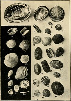 """Image from page 70 of """"Beautiful shells of New Zealand : an illustrated work for amateur collectors of New Zealand marine shells, with directions for collecting and cleaning them"""" (1908)   Flickr - Photo Sharing!"""