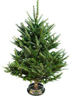 Frazier Fir Christmas Tree