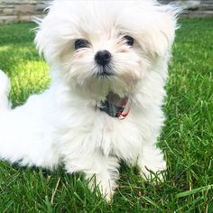"""Say hello to Ralph, an adorable Micro Maltese fluff ball! """"Like"""" if this little cutie brightened up your day a bit!"""