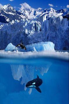 Orcas under ice