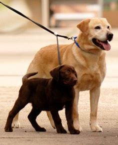 Adjustable Dual Leash -Walk Two Different Sized Dogs