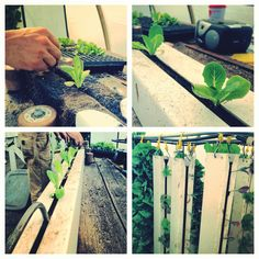Vertical Farm Photos - Friday 6/14/2013: Harvesting, planting a ZGT and much more! #Aquaponics #Farm