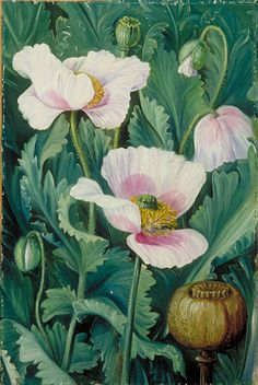 Foliage, Flowers, and Seed-vessel of the Opium Poppy by Marianne North Plants: Opium Poppy, Papaver somniferum © Kew Gardens, London http://www.kew.org/mng/gallery/plant-portraits