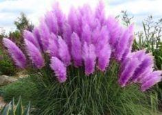 Rare Purple Pampas Grass Garden plant Flower seeds 20pcs