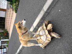 ▶ ノッてる柴犬「しゅん」ちゃん(その2)-カメに乗る - YouTube