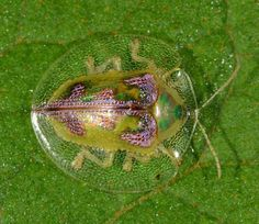 An exquisitely coloured tortoise beetle