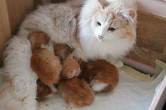 Pile of ginger norwegian forest cat kittens...um...amazing