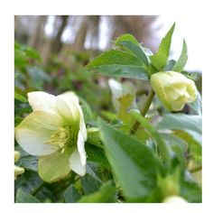 There are hellebores out... #hellebore #hellebores #winterflowers