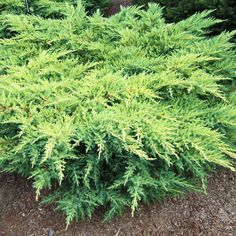Juniper     Among the most versatile of evergreens, junipers range from ground-hugging creepers to mounded shrubs and upright trees. All respond well to pruning, making them useful hedges.  Name: Juniperus selections  Zones: 3 - 9