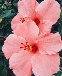 Flores rosadas | Pink flowers - #tropical