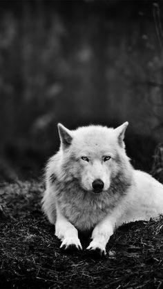 wolves in the wild screensaver | white-wolf-in-the-wild_wallpapers_35770_720x1280.jpg