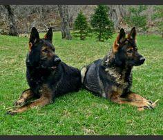 www.vtgsd.com dark sable german shepherds. Gorgeous!