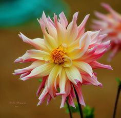 Dahlia Romance - Available in canvas print, framed print, art print, acrylic print, metal print, greeting card, iPhone case and Galaxy case