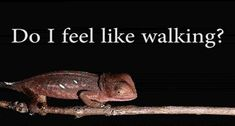 Indecisive chameleon