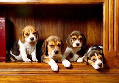 """""""Is that bacon we smell?""""...Beagles found on fundogpics.com"""